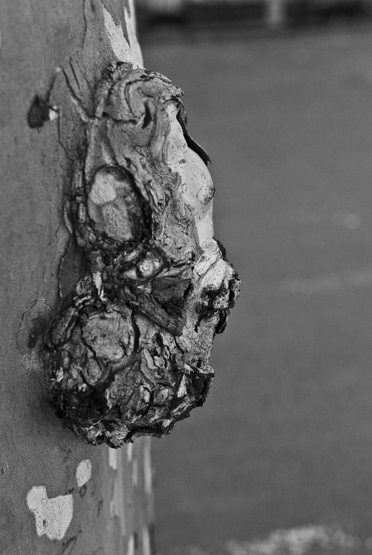 Ceratocystis Platani Wikipedia