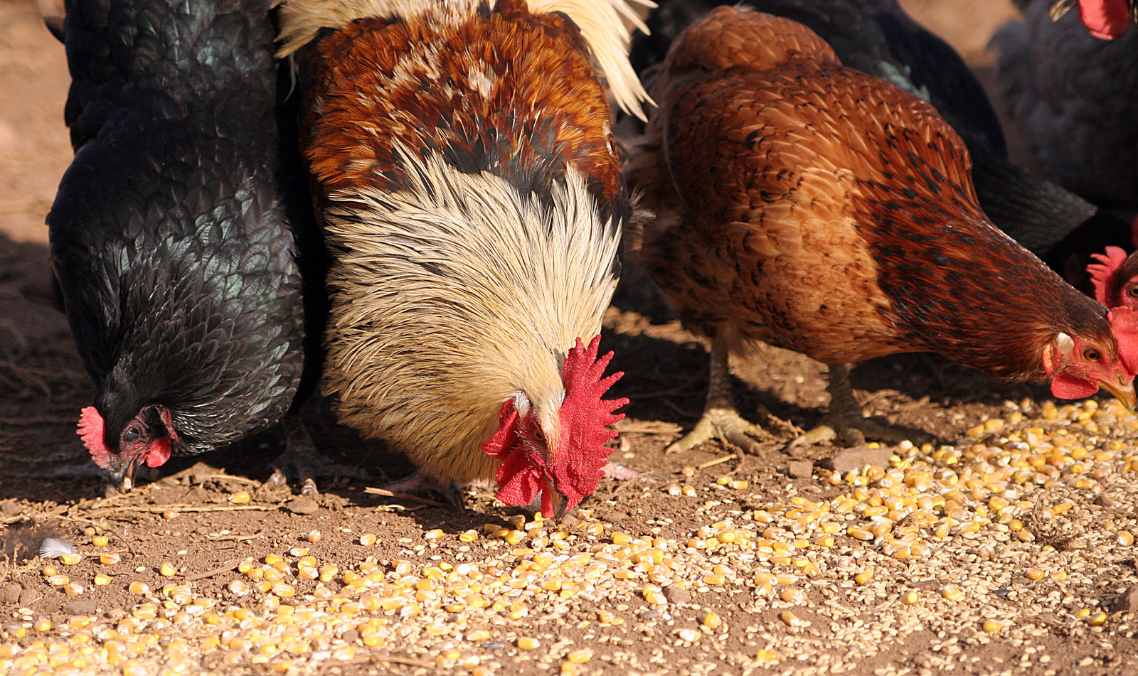 GMO Corn Chicken Feed May Make it Hard to Avoid Consuming
