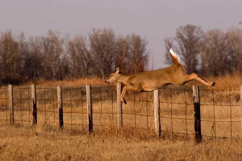 Doe jumping fence