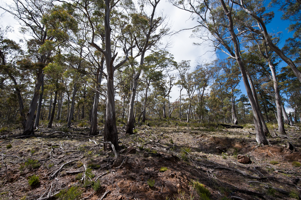 Eucalyptus Pulchella Wikipedia