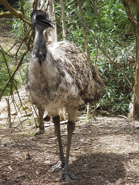 Australian Linnut