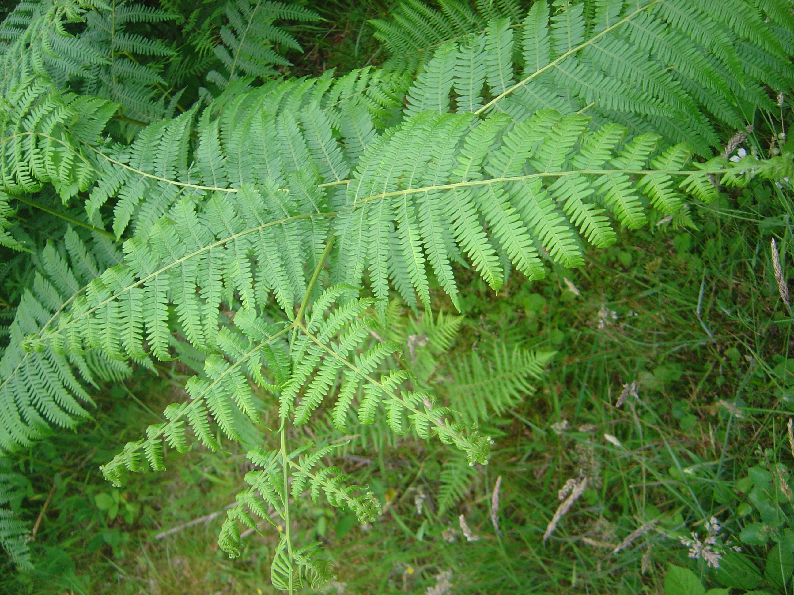 シダ植物 - Wikipedia