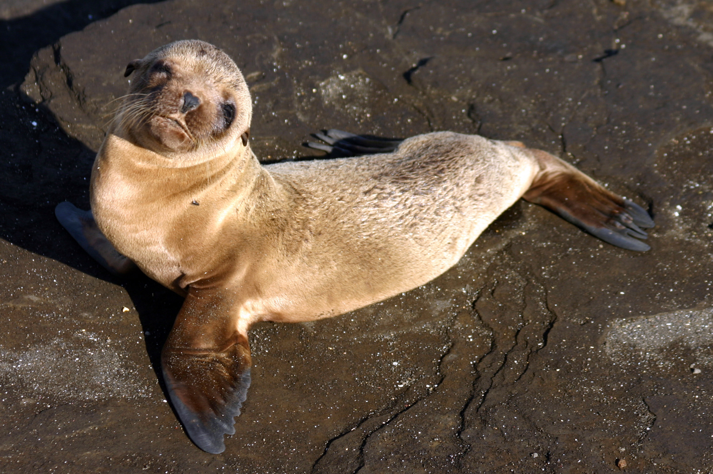 File:Galápagos baby sea lion.jpg - Wikimedia Commons