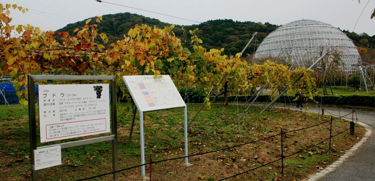 File:Grape garden in Fruit park Togokusan 2010-11-14.JPG - Wikimedia ...