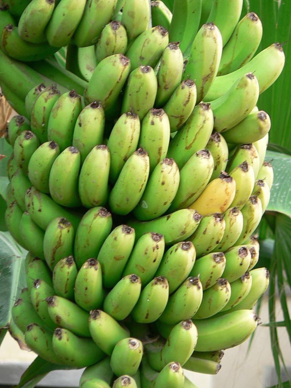 saba banana musa balbisiana peels as