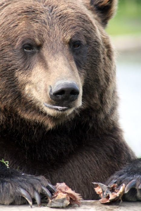 grizzlybeer in alaska, foto shellie