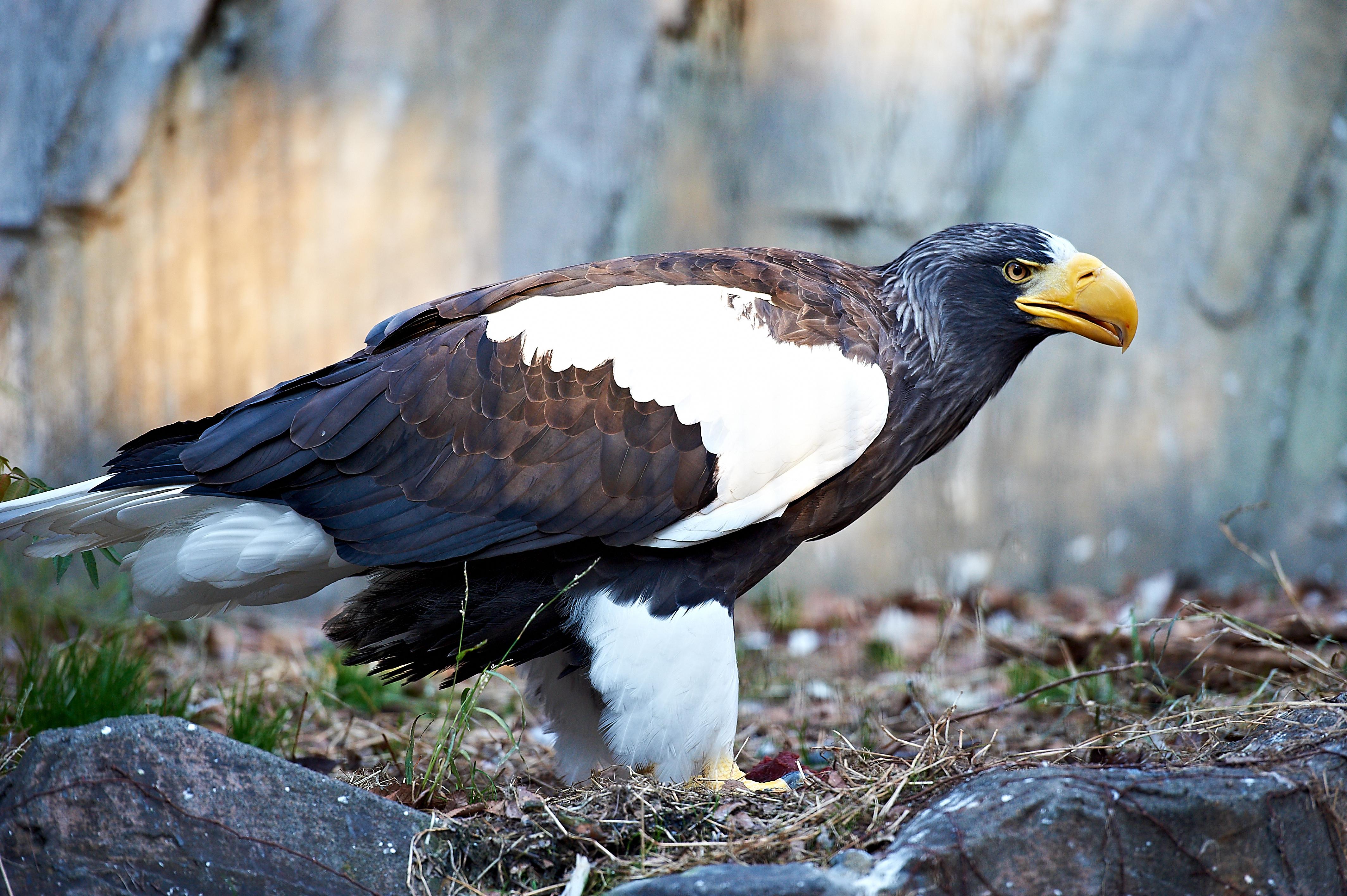 File:Haliaeetus pelagicus -Ueno Zoo, Japan-8a (2).jpg - Wikimedia ...