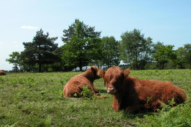 Highland cattle grazing on Hindhead common. - geograph.org.uk - 17162