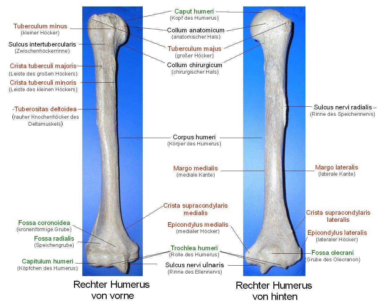 Oberarmknochen – evolution-mensch.de