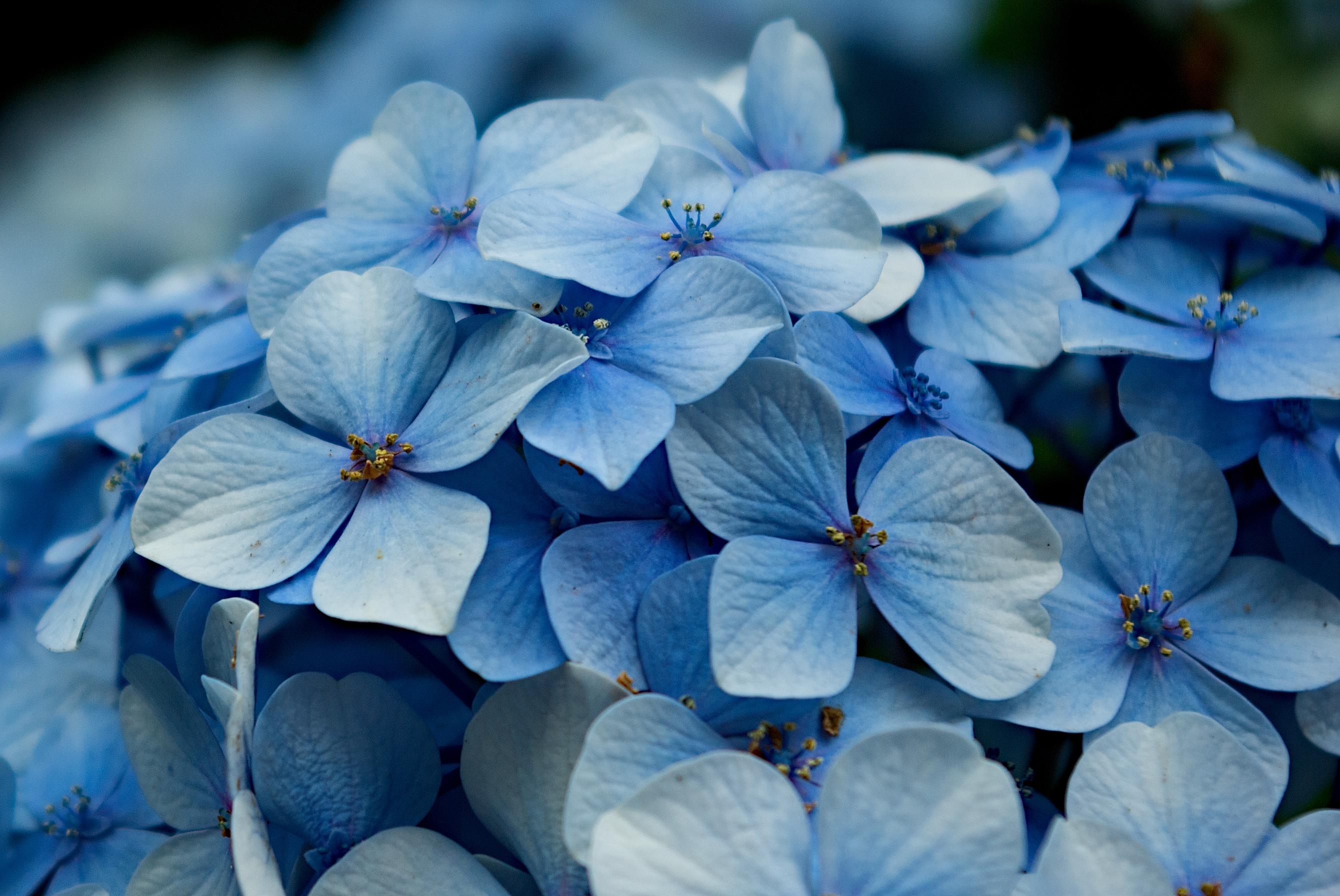 File hydrangea macrophylla petals for Colore ortensia