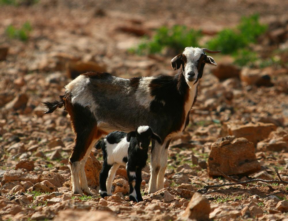Cabra majorera - Wikipedia, la enciclopedia libre