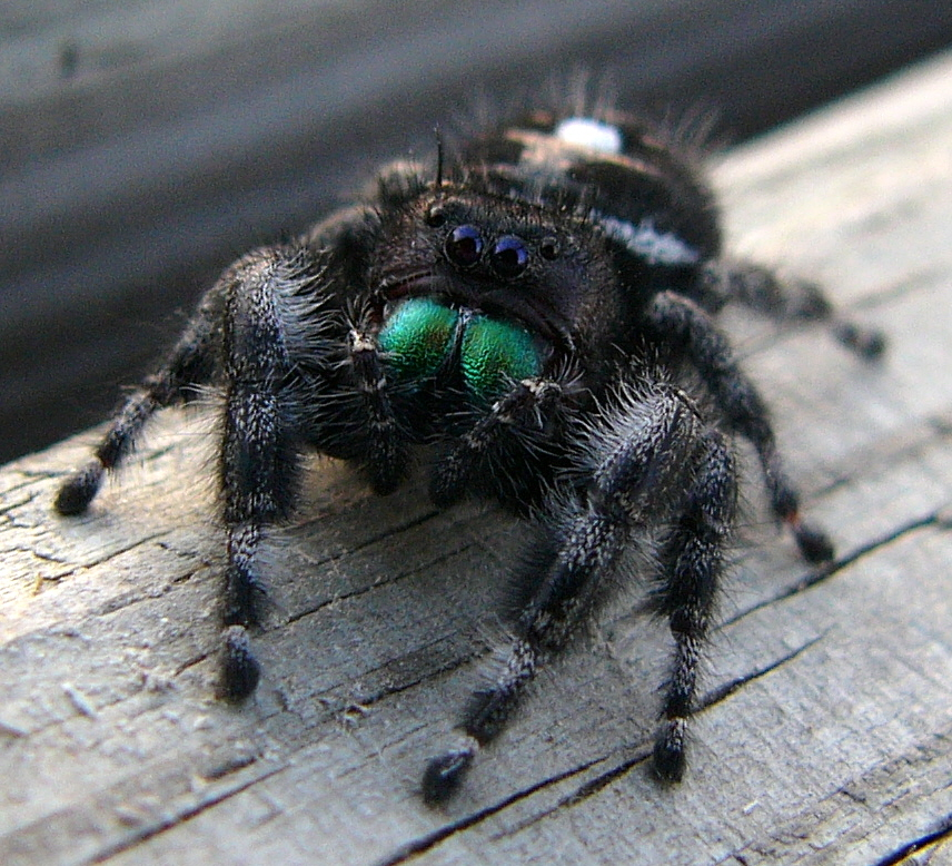 Black jumping spider with red dot - photo#7