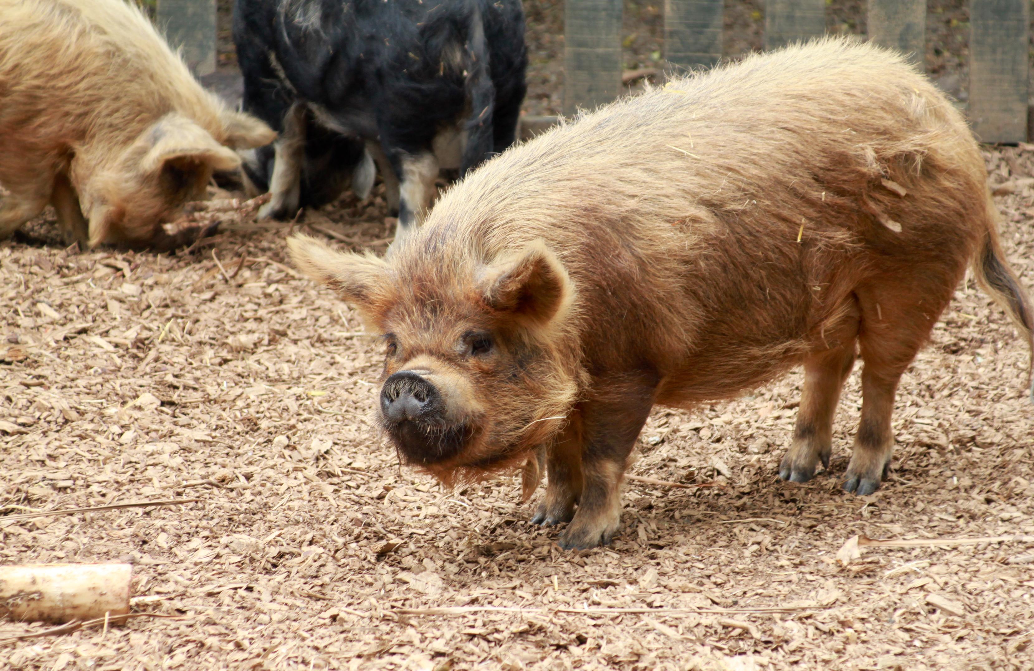 file kunekune pig at hamilton zoo     wikipedia