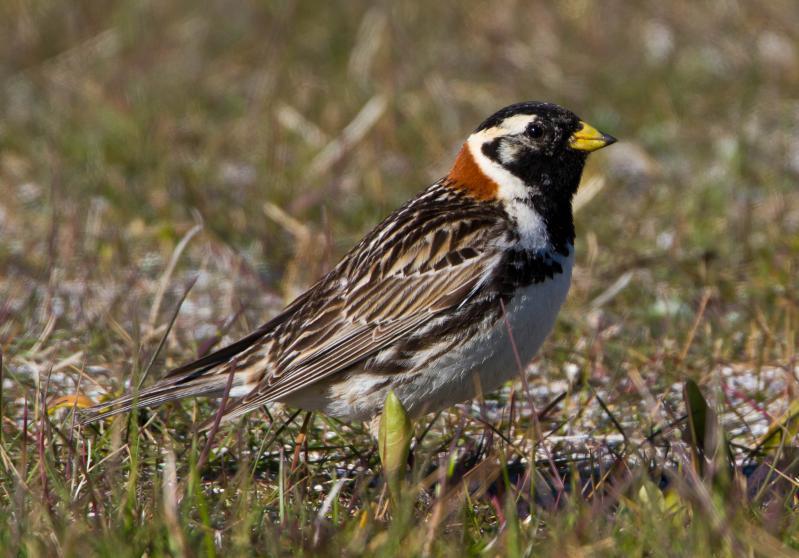 File:Lapland Longspur - Calcarius lapponicus - Sportittlingur 2.jpg