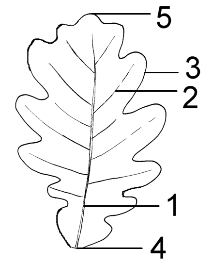 Blatt (Pflanze) - Wikiwand