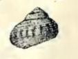 Leptothyra nanina 002.jpg