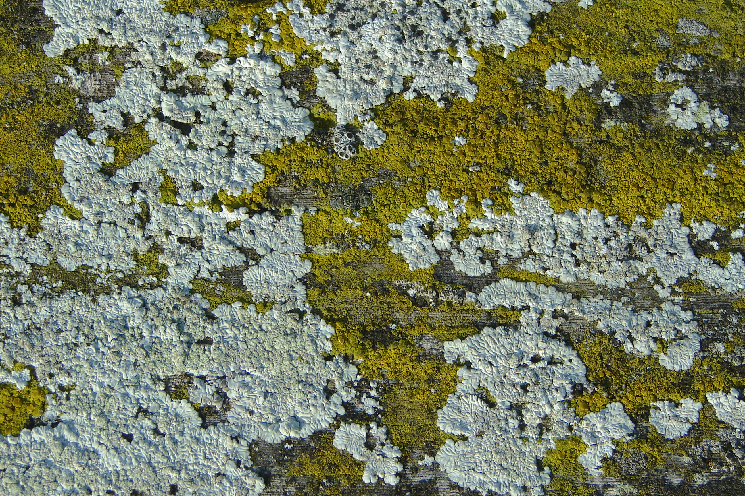 File:Lichen DSC00612.JPG - Wikimedia Commons