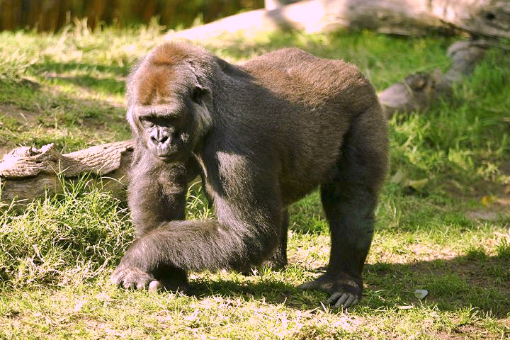 File:Lightmatter silverback gorilla.jpg