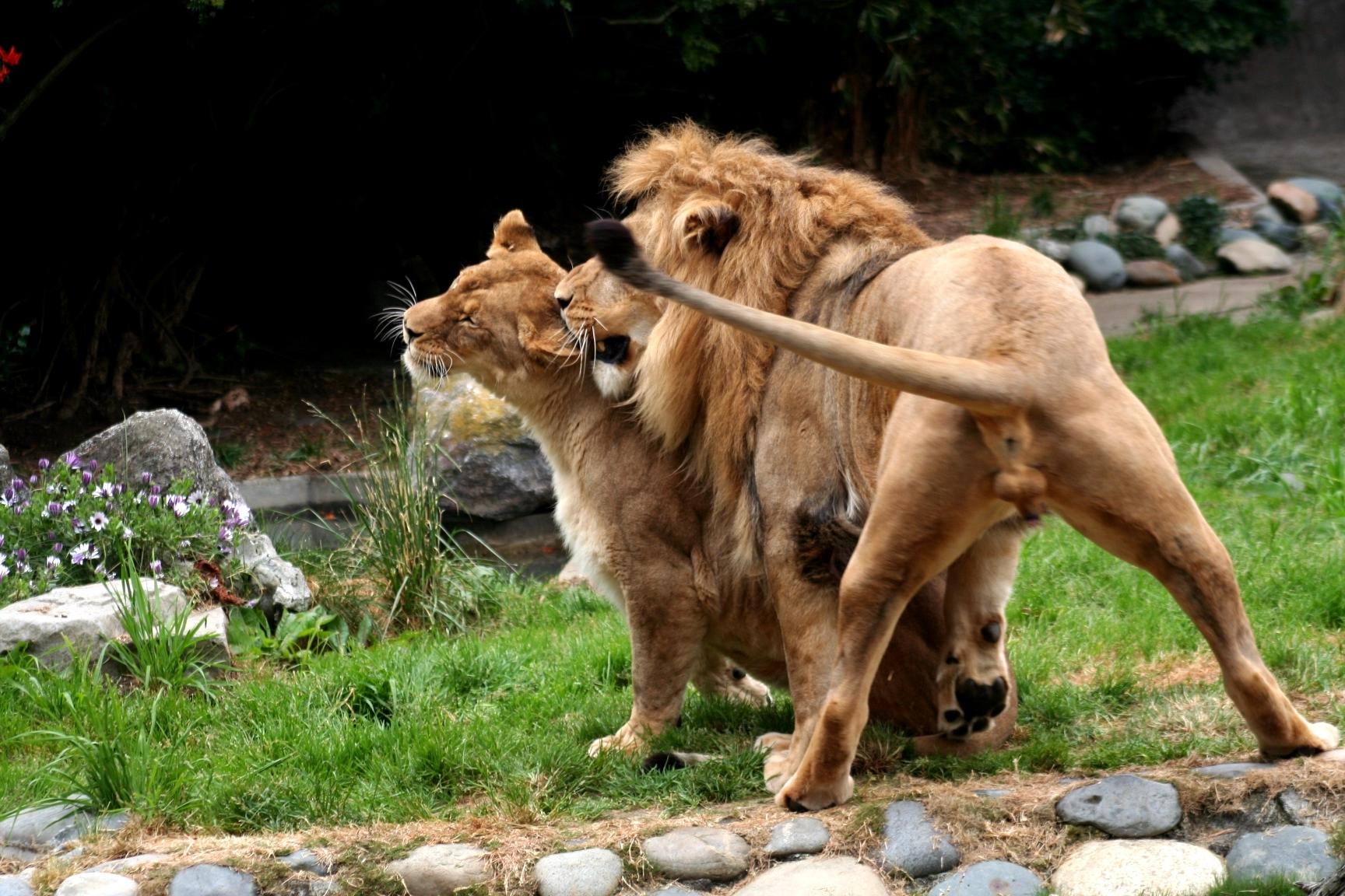File Lions Sf Zoo Jpg Wikimedia Commons