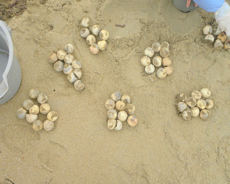File loggerhead sea turtle eggs jpg wikimedia commons