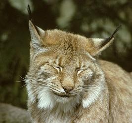 تصویر:Lynx lynx.jpg