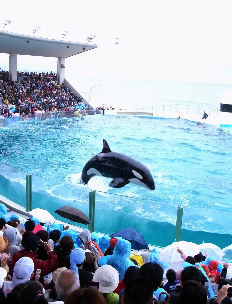 File:Orcinus orca show in kamogawa sea world.jpg