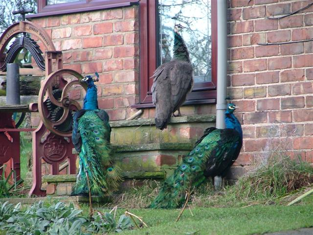 File:Ostentation of Peacocks - geograph.org.uk - 90012.jpg