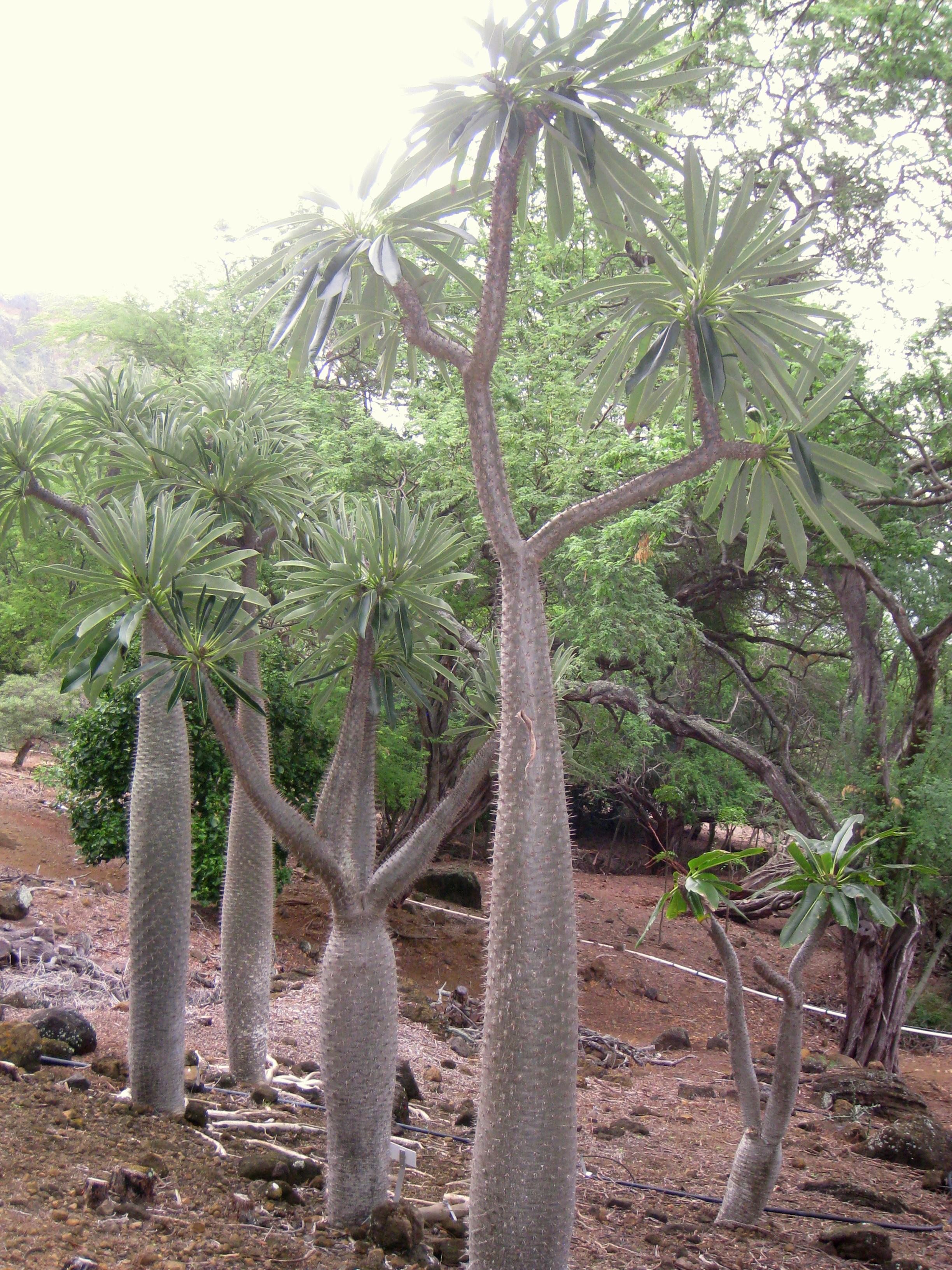 Datei Pachypodium Lamerei Var Ramosum Koko Crater Botanical Garden Img 2279 Jpg Wikipedia