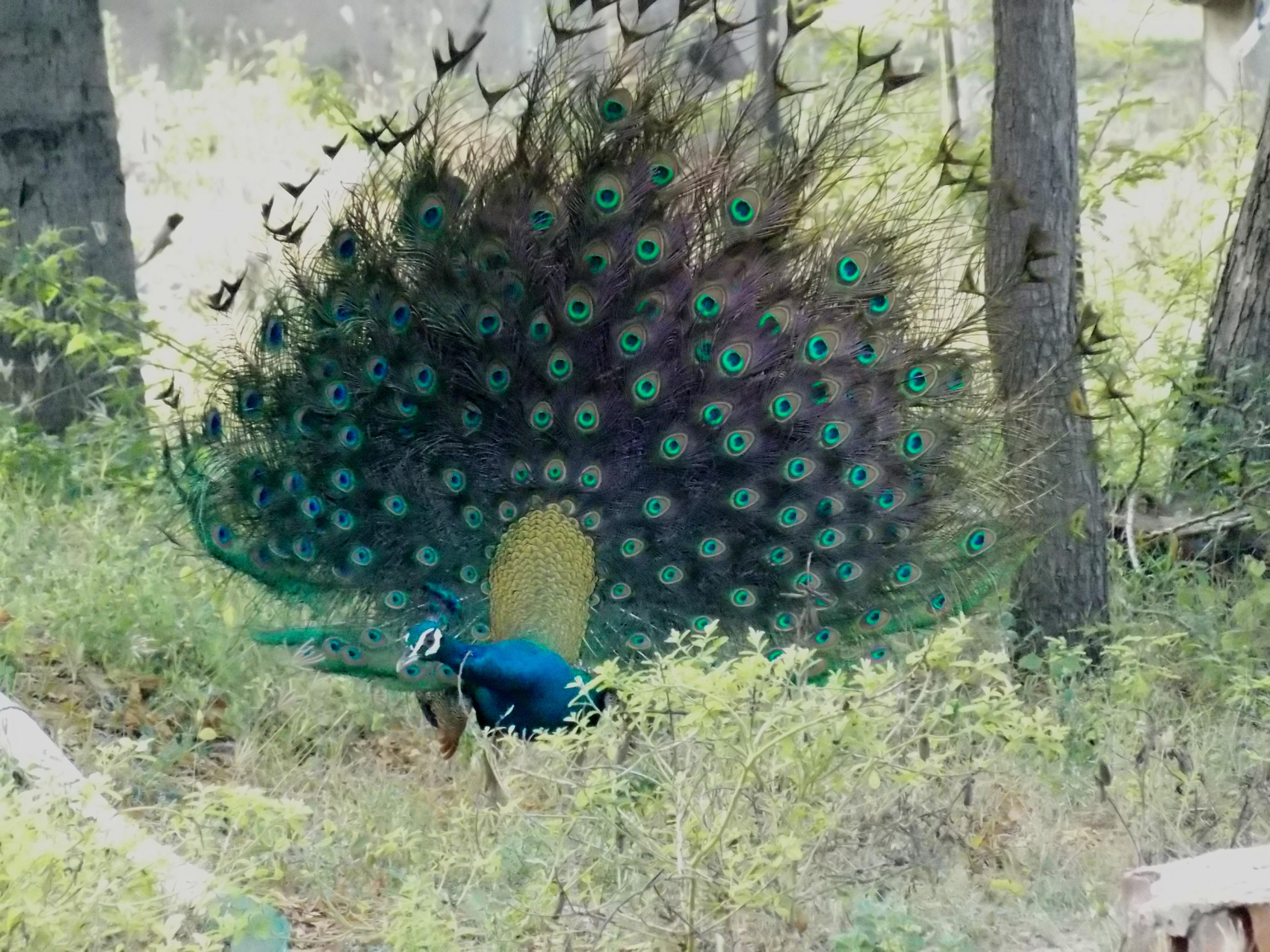 Melanistic Peacock
