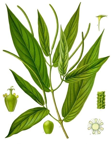 plantas medicinales sus nombres cientificos y para que sirven