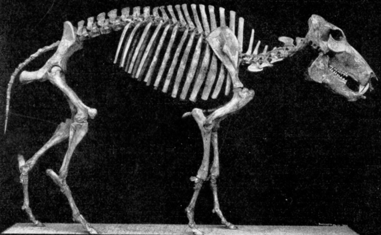 Platygonus-skeleton.jpg