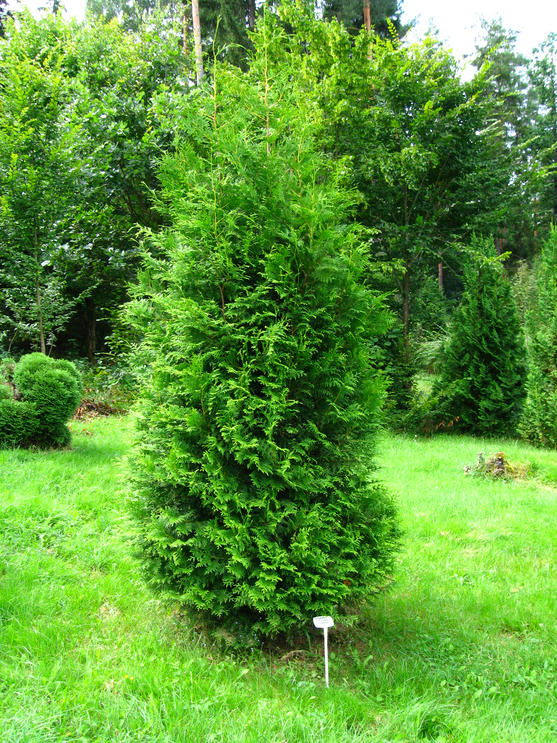file podlaskie suprasl kopna gora arboretum thuja occidentalis 39 brabant 39 plant jpg. Black Bedroom Furniture Sets. Home Design Ideas