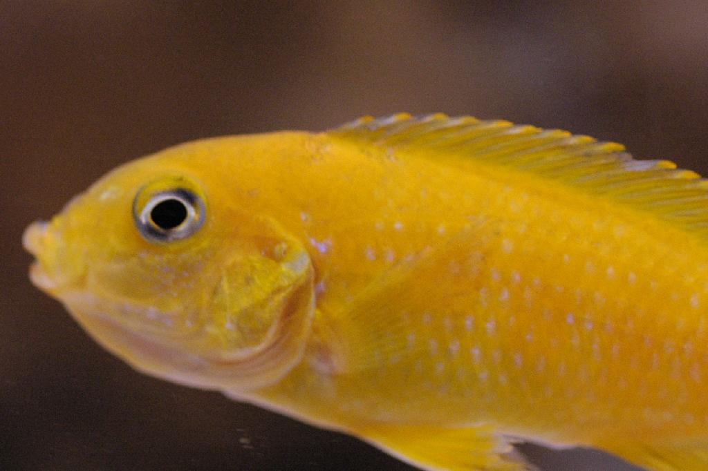 File:Pseudotropheus Saulosi V bekje vol.jpg - Wikimedia Commons