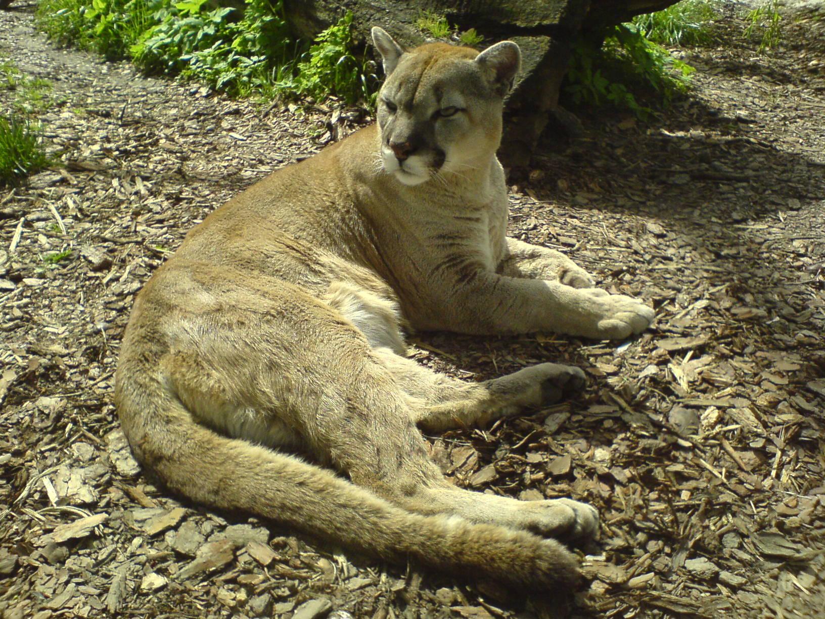 Puma Zoo