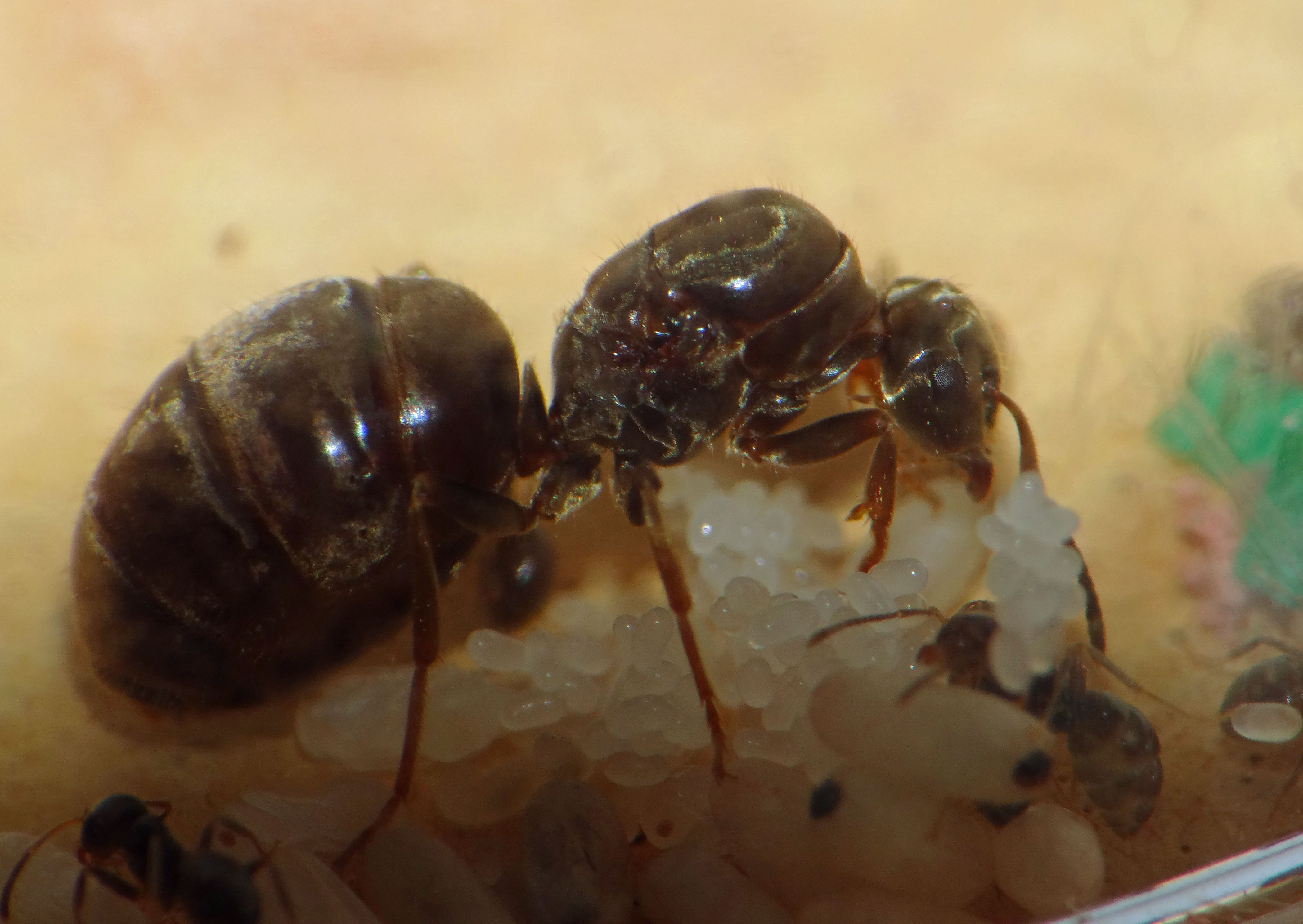 FileQueen Lasius Niger With Eggs And Cocoons