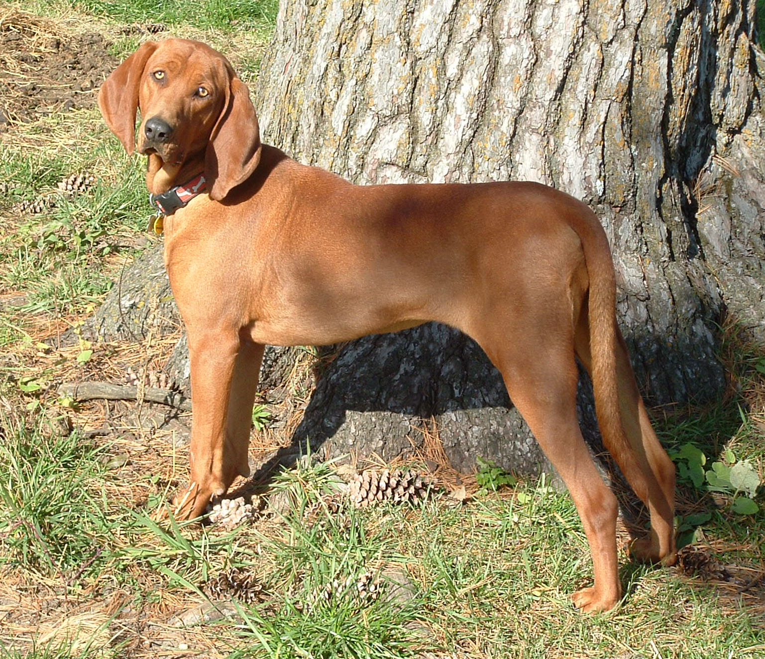 file redbone coonhound     wikimedia commons