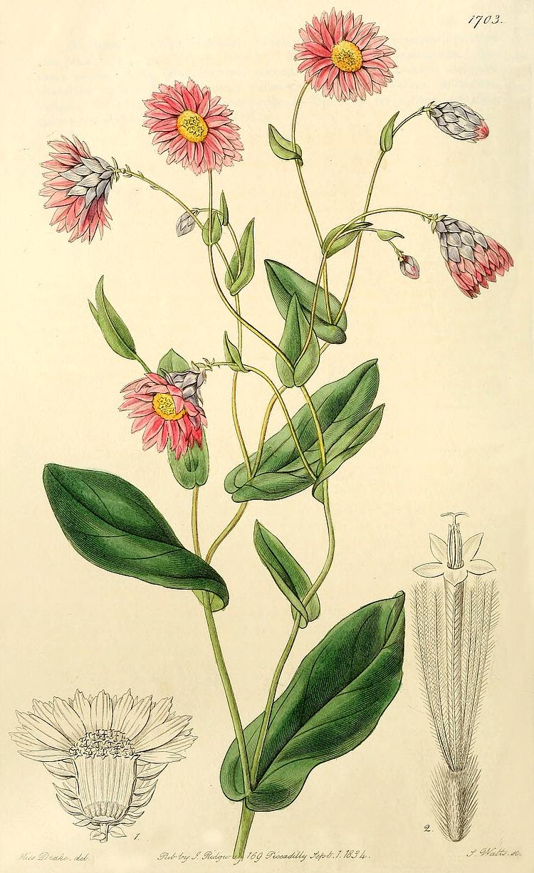 Rhodanthe Manglesii Wikipedia