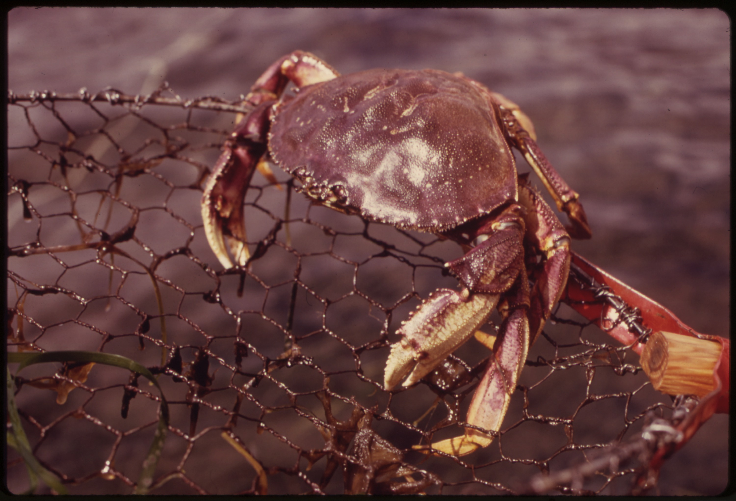 Crab caught in a net