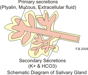 English: Schematic diagram of salivary gland