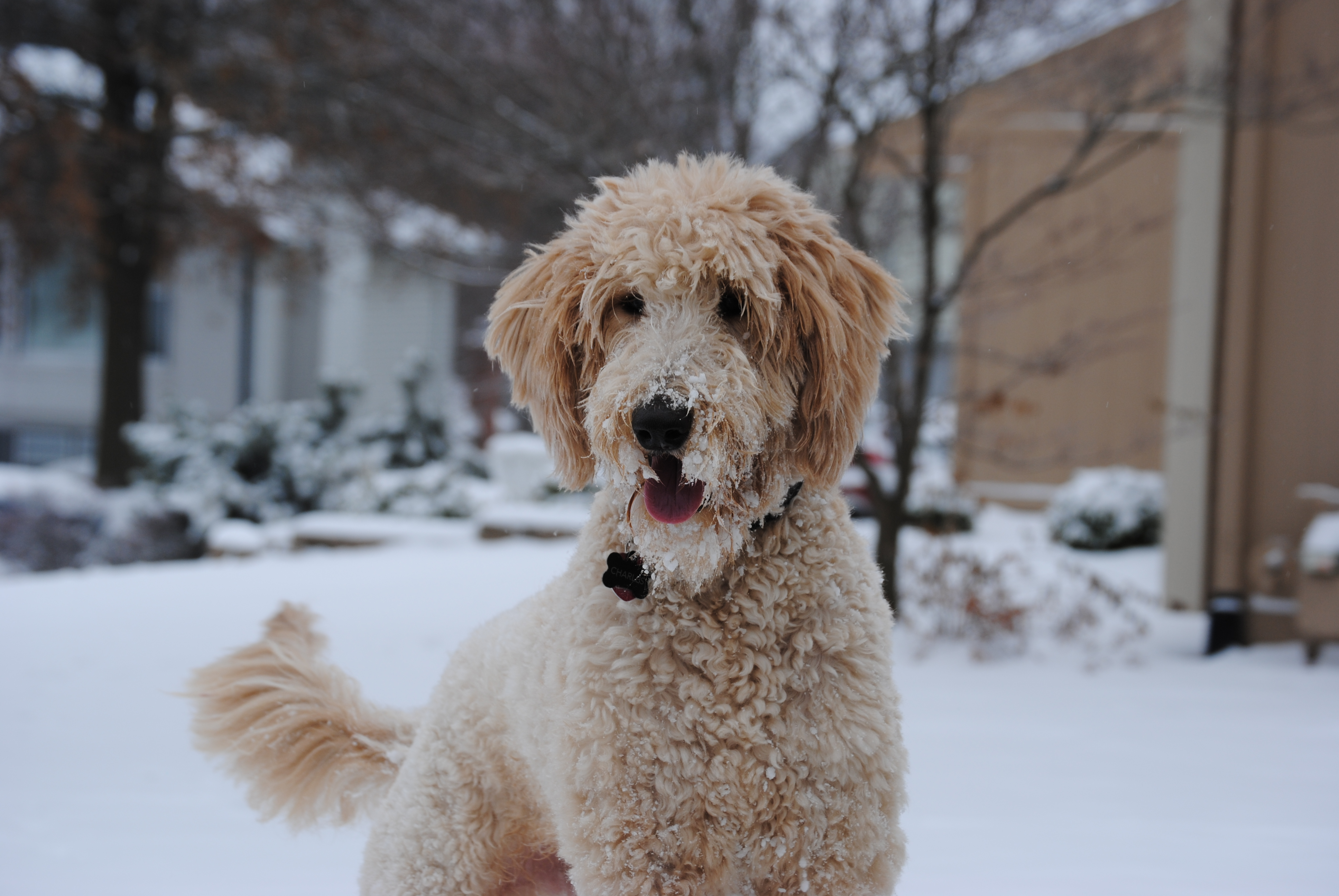 File:Snowy goldendoodle.JPG - Wikimedia Commons
