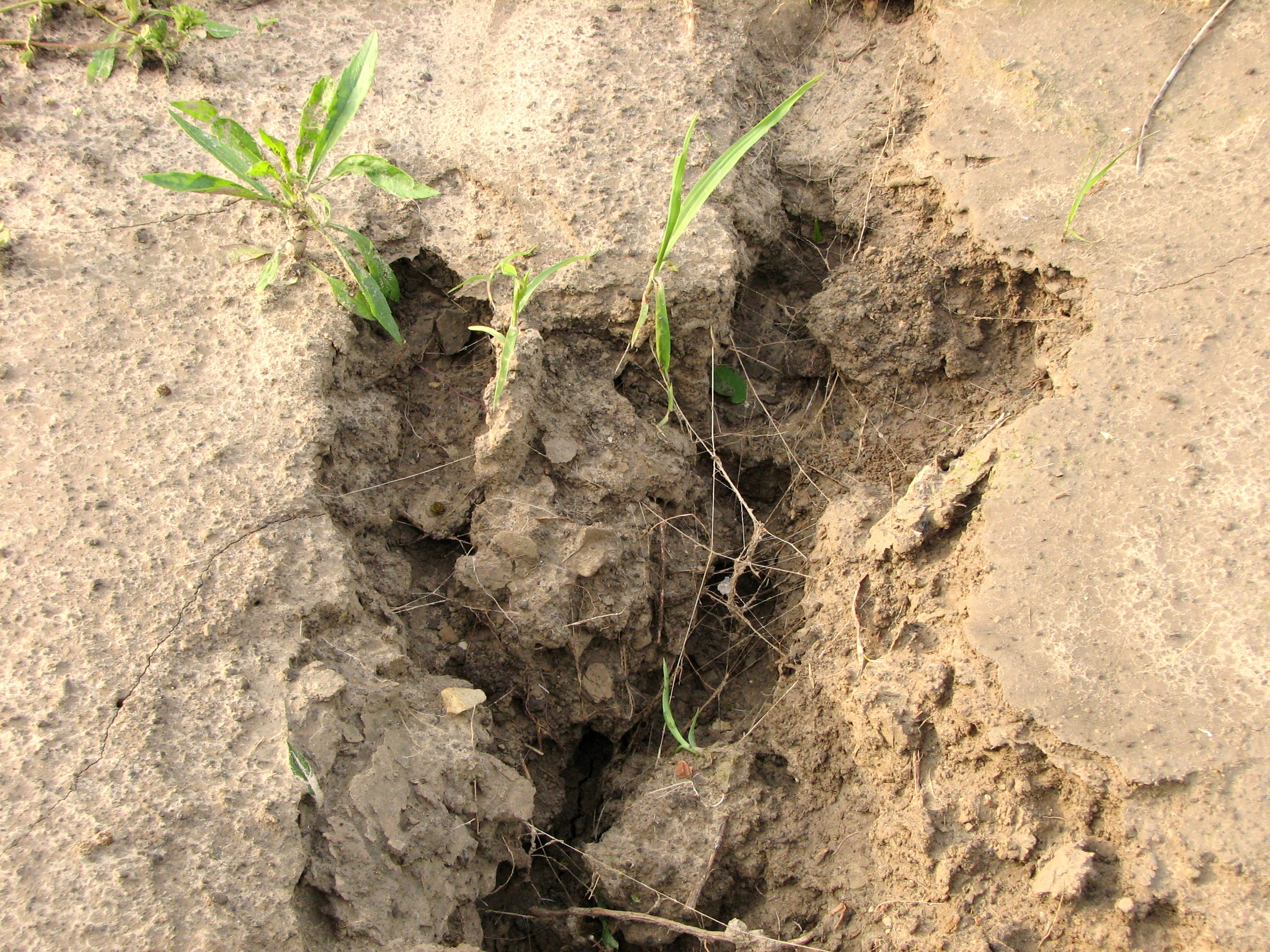 File soil erosion with roots jpg wikipedia for Different types of soil wikipedia