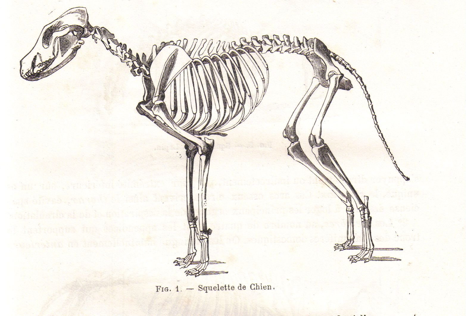 File Squelettechienchauveau1990 Jpg Wikimedia Commons