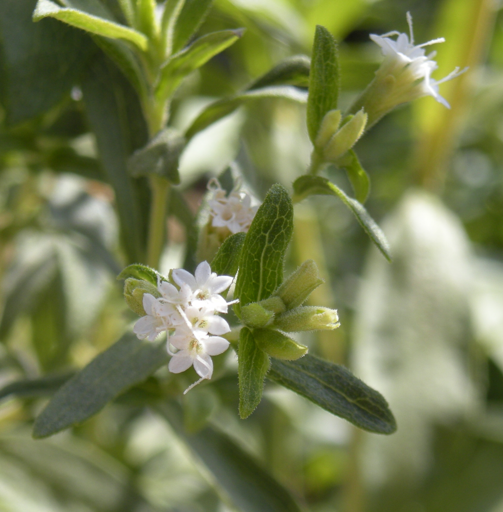 http://commons.wikipedia.org/wiki/File:Stevia_rebaudiana_flowers.jpg
