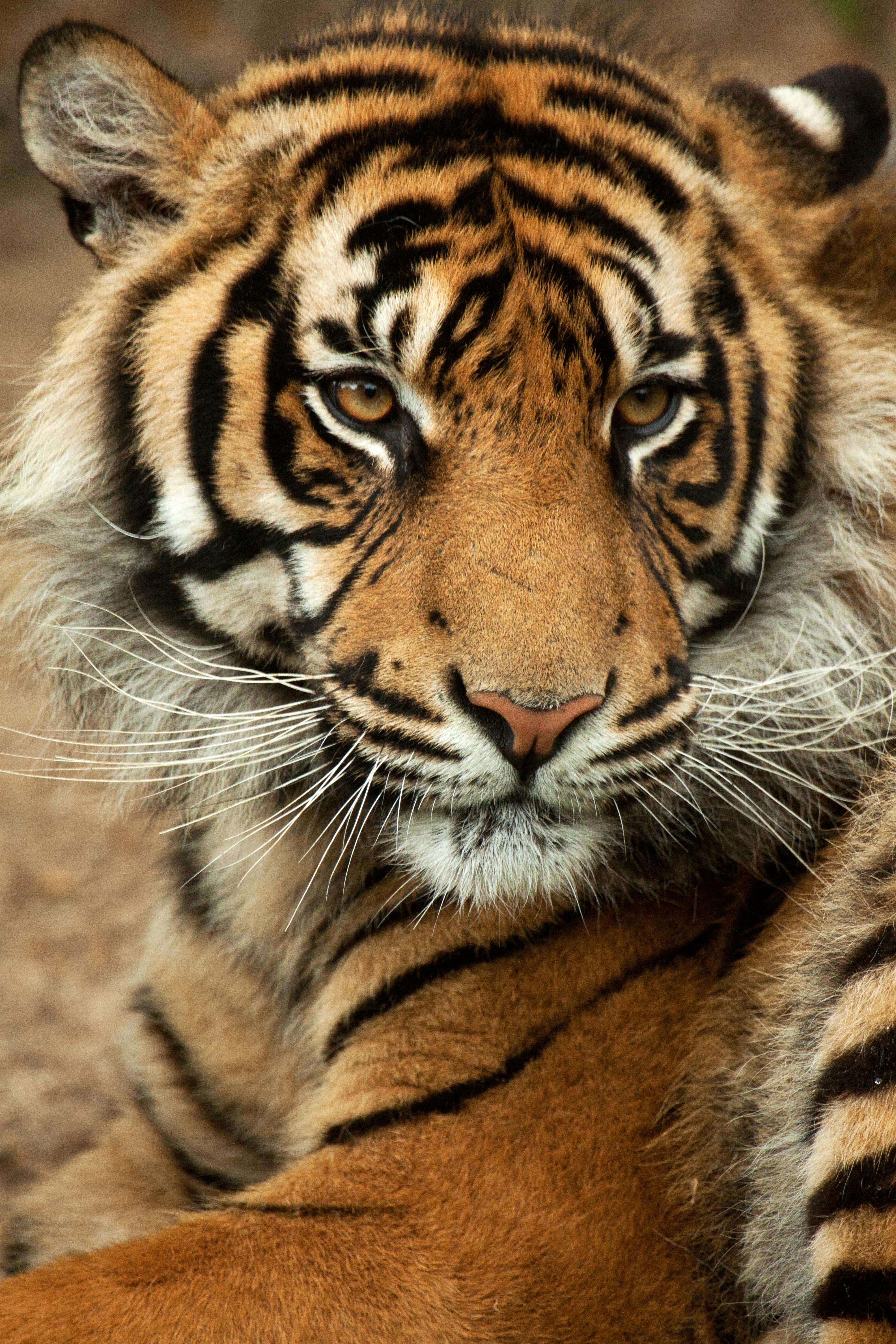 File:Sumatra-tiger Panthera-tigris-sumatrae.jpg - Wikimedia Commons