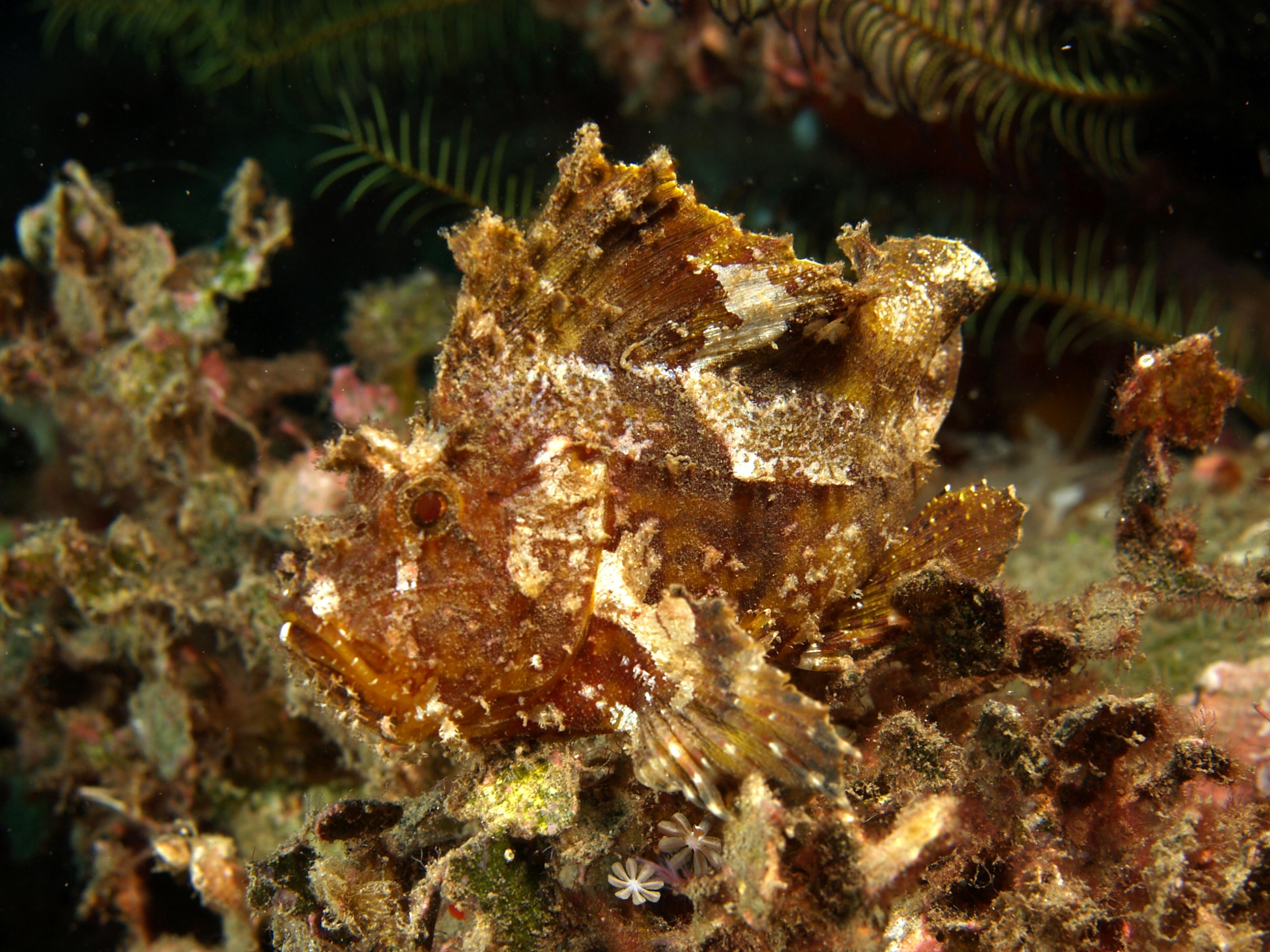 leaf scorpionfish - photo #1