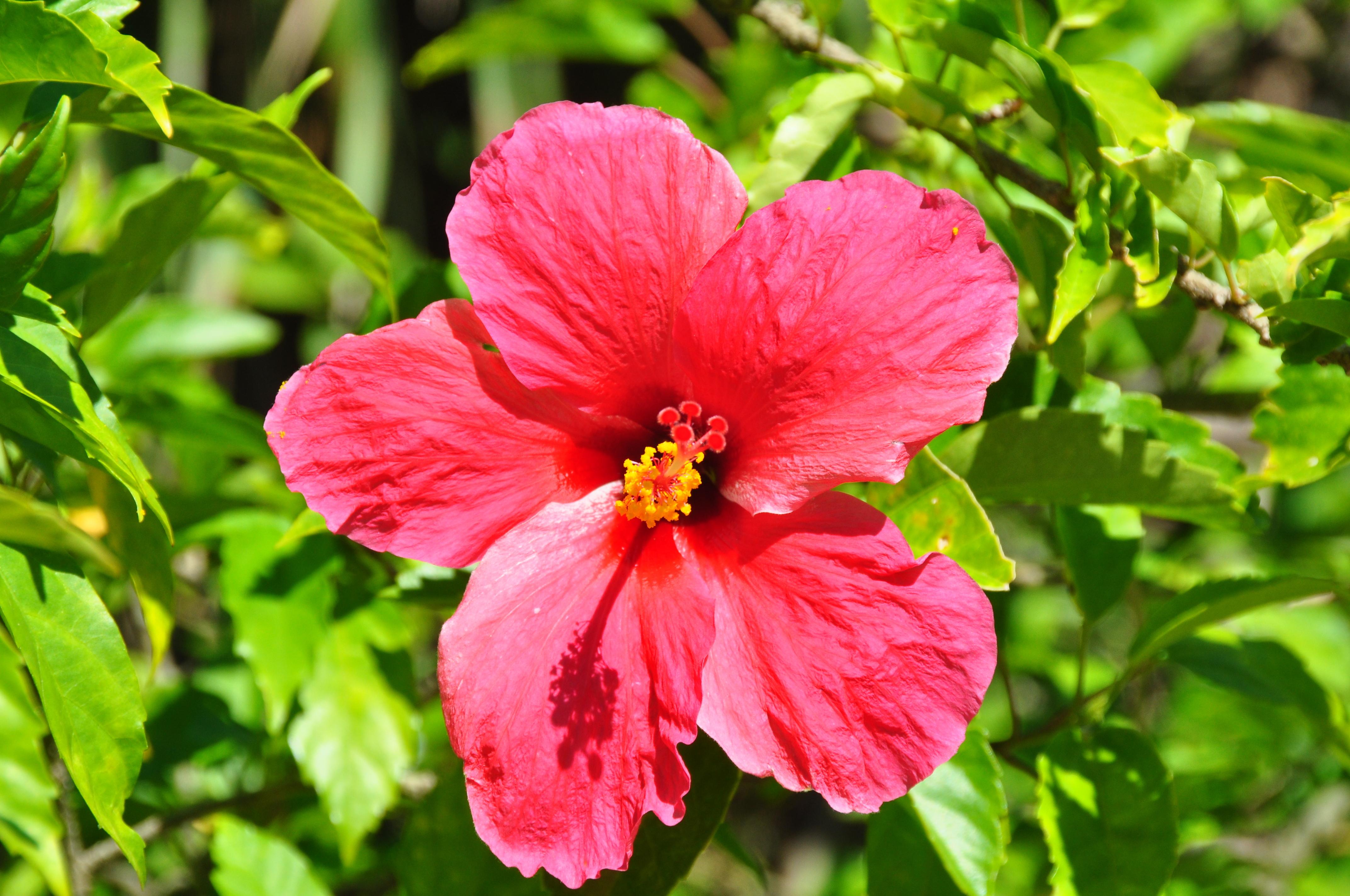 File Taiwan hibiscus Wikimedia mons