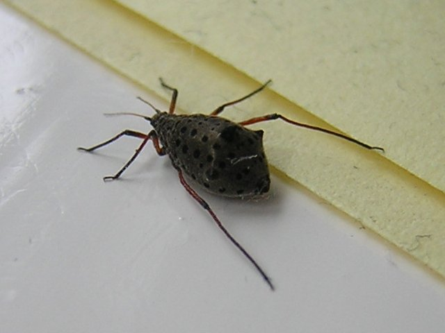 Tarquin unknown spiny insect.jpeg