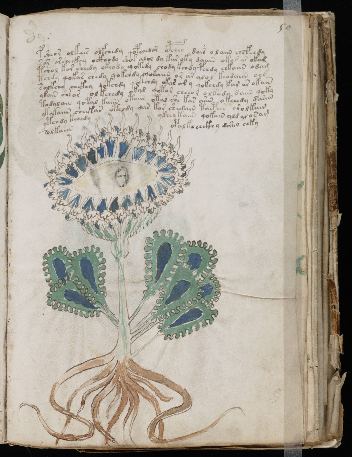 https://upload.wikimedia.org/wikipedia/commons/2/26/Voynich_Manuscript_%2899%29.jpg
