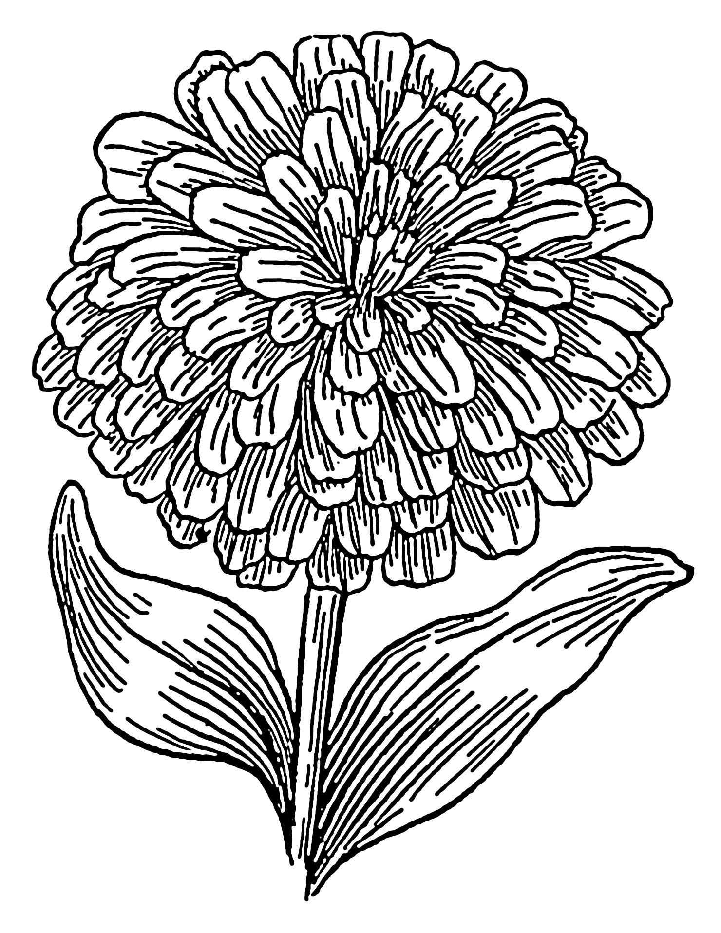 Marigold Flower Line Drawing : File zinnia psf wikimedia commons