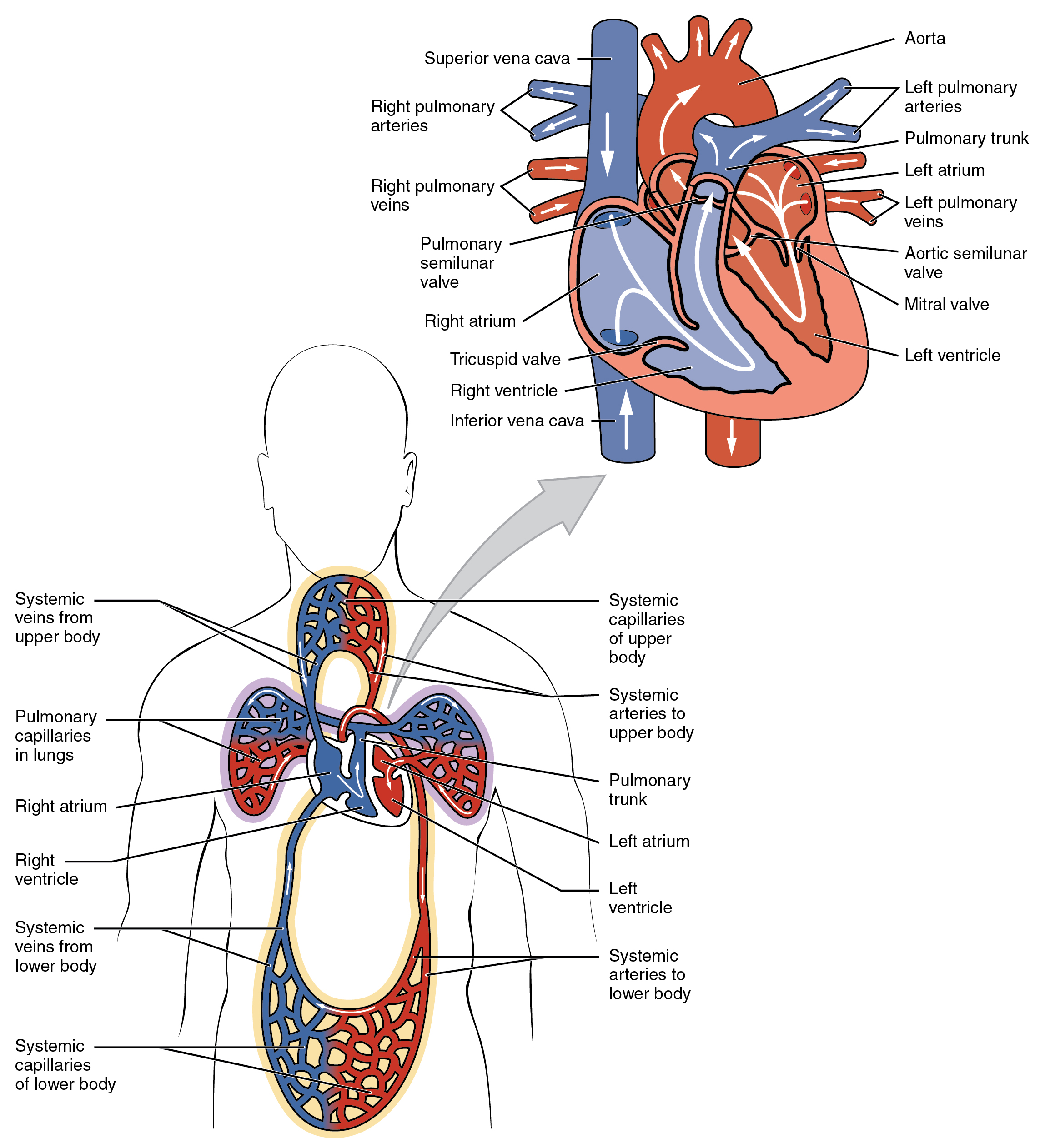 File2003 Dual System Of Human Circulationg Wikimedia Commons